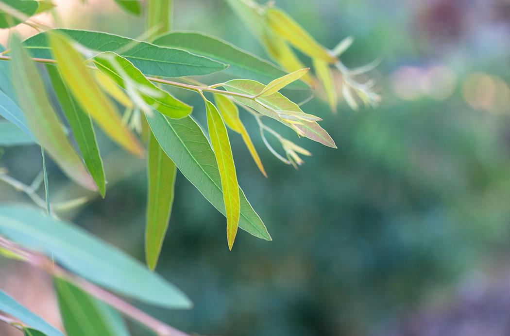 Az Eucalyptus radiata alkalmazási területei